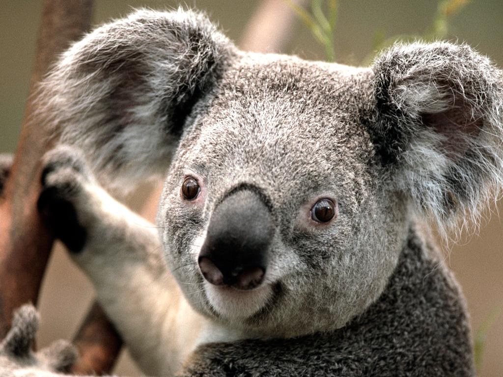IMAGE_Koala.jpg